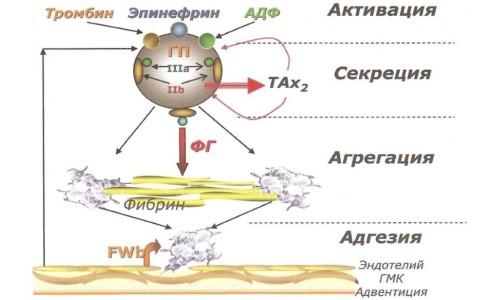 Схема этапов активации - адгезии тромбоцитов